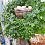 Stone Urns & Live Ivy